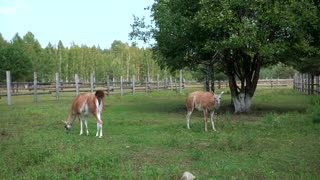 two lamas walking in the zoo