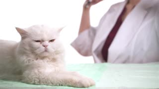 Veterinarian doctor is making a check up of a white cat