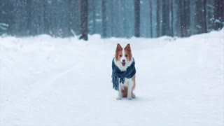Cute border collie dog sit on hind legs in winter