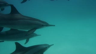 Cute dolphins flock underwater on blue ocean