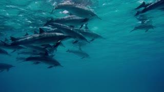dolphin flock underwater on blue ocean