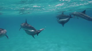 Dolphins making love, copulating