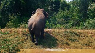 Elephant walking out of water in safari park