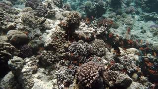 Free diver exploring coral reef in tropical sea
