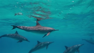 free dolphins swimming deep underwater