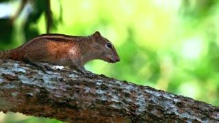 Indian palm squirrel Funambulus palmarum sitting on a grass