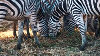 Portrait of zebras in the zoo eating grass