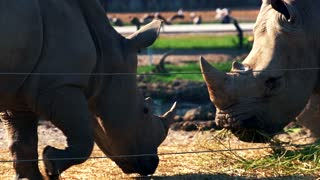 Southern white rhinoceros eating in zoo