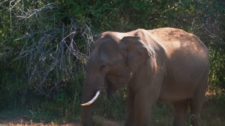 Wild elephant eating grass in safari park