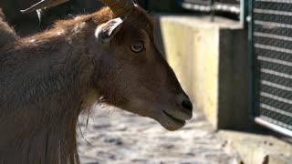 West caucasian tur goat in zoo cage