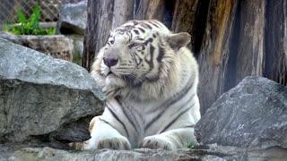 White huge tiger resting on a rock
