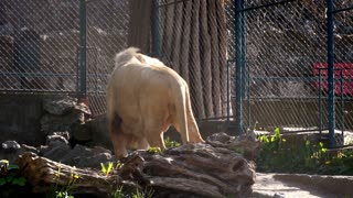 White lion sitting in the zoo cage