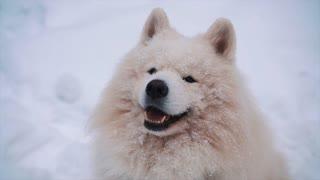 White Samoyed dog lying on snow