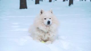 White Samoyed dog on snow