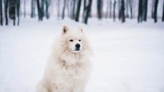 White Samoyed dog play on snow in winter