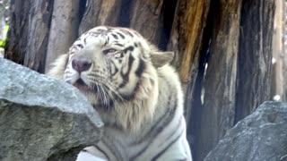 White tiger lying on rock