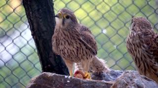 Wild falcon in the zoo