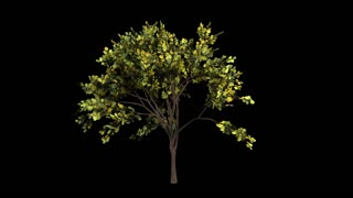 Looping Tree with Shadow 1080p