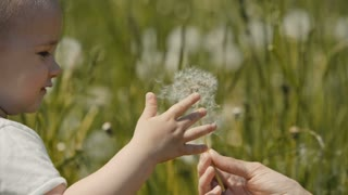 small child touches the dandelions