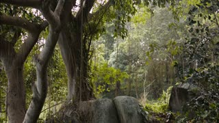 a huge tree with vines in a tropical jungle