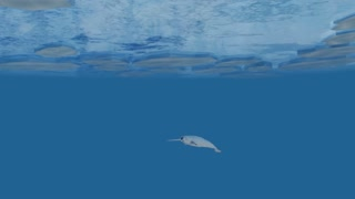 Narwhal Whales Swimming in the Arctic.  High-quality 3d Animation