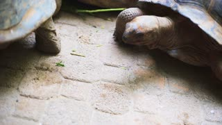 Aldabra giant tortoise in nature. Relationship