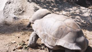 Aldabra giant tortoise in nature. Two animals