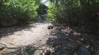 Aldabra giant tortoise in nature. wide