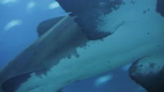 Big white-blue shark slowly swim in aquarium with blue light ambient in background in oceanarium. Close-up shot on Canon 5d mark iii