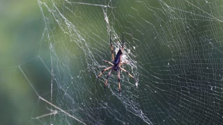 Giant wood spider on the web