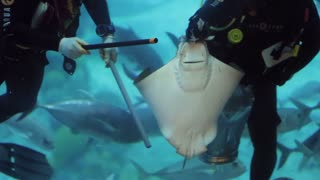 Two brave divers in large blue big aquarium in Dubai feeds steengray and othe fish behind glass. Hard dangerous work