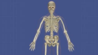 Animation of human organs protected by the skeletal system.