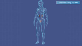 Female reproductive system image diagram motion background animation of the female urinary system ccuart Choice Image