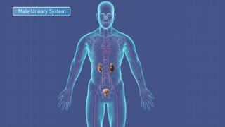 Animation of the male urinary system.