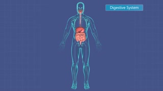 Human digestive system.