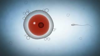 Zygote formation following sperm fertilizing the ovum.