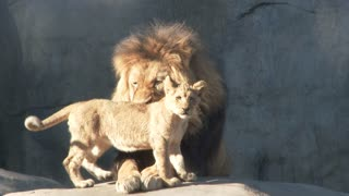 Adult Male Lion Playing With Cubs