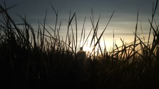 Back Lit Person Walks Up Field Of Blowing Grass At Sunrise