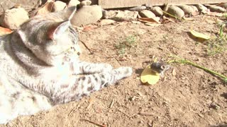 Cat Hunting Mouse Outside