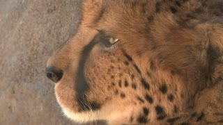 Cheetah Close Up On Face