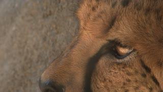 Close Up Cheetah Eyes