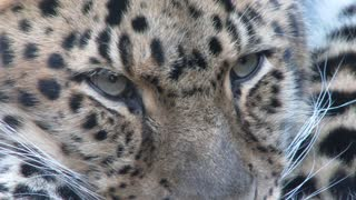 Close Up On Leopard