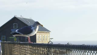 Coastal Seagull Takes Off