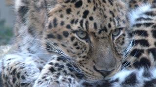 Endangered Amur Leopard Close Up 1