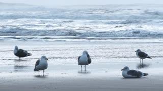 Five Ocean Gulls On Pacific Beach