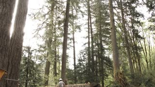 Forester Cutting Down Large Tree In Forest