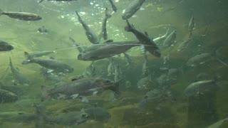 Fresh Underwater School Of Fish