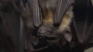 Hibernating Bats Close Up