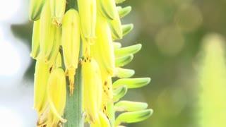 Honey Bee In Search Of Pollen
