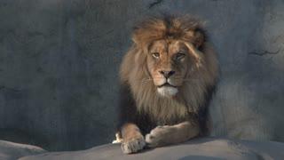Large Adult Male Lion